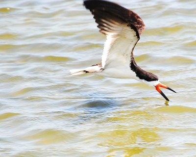 Skimming Along (black Skimmer)