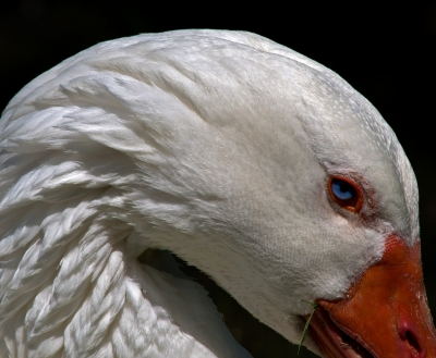 A Snow Goose Deep In Thought
