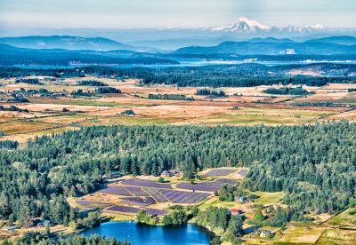 Mount Baker Over The Lavender Fields Of San Juan Island