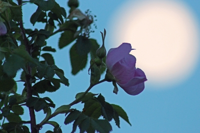 Wild Rose Under The Rising Full Moon