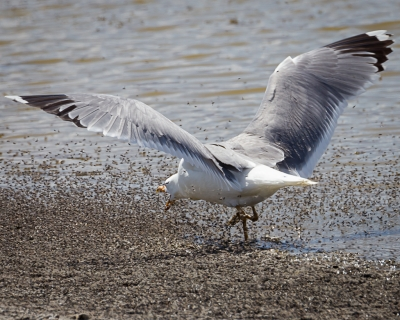California Gull Feeding On Brine Flies