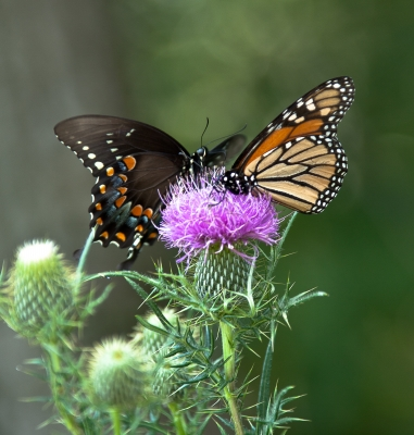 Butterfly Thistle Competition