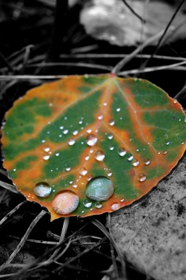 Aspen Leaf Droplets