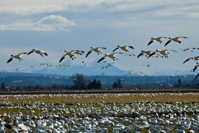 Snow Geese Part1
