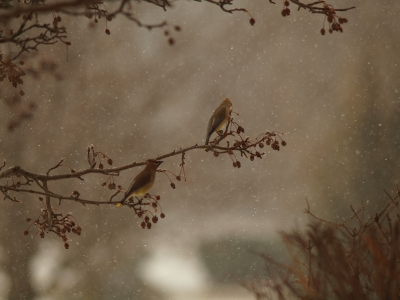 Waxwings In Snow