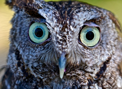The Eyes Have It – Screech Owl