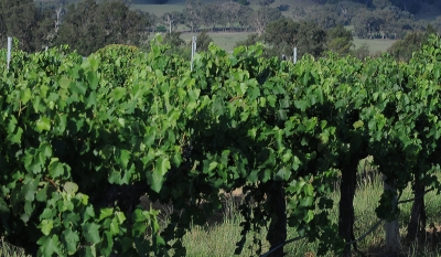Grapes Growing At Mudgee
