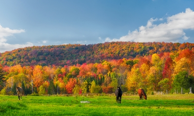 Three Horses In Vermont Fall