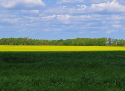 Canola Field In Bloom Next To A Wheat Field.