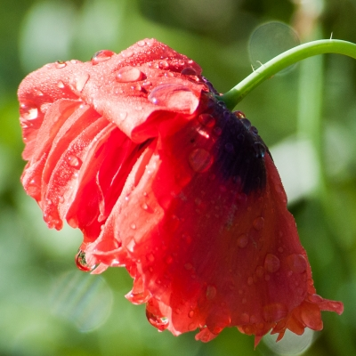 Poppy Droplets