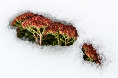 Autumn Sedum In Snow