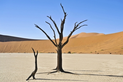 Lonely Camel Thorn Tree
