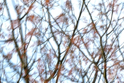 Early Maple Leaves