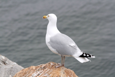 Beautiful Gull