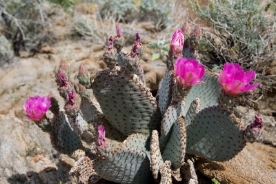 Bevertail Cactus, Anza Borrego Sp