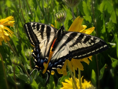 The Western Tiger Swallowtail On The Blanket Flower