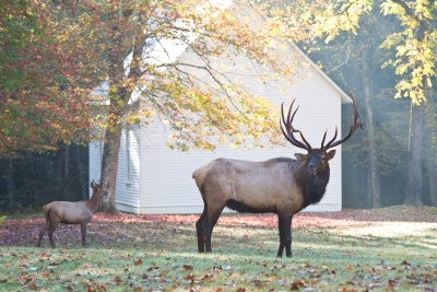 Elk At Church