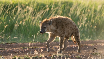 Spotted Hyena In Evening Light