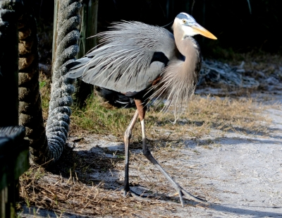 Great Blue Heron On A Stroll