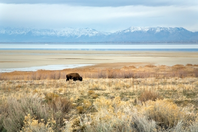 Bison On Shore Of Antelope Island