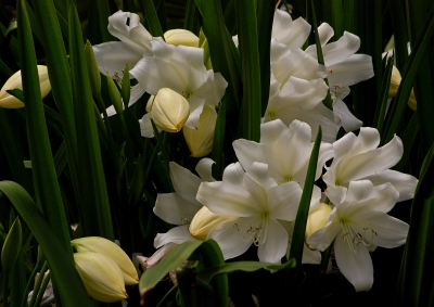 St. Christopher Lilies