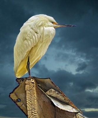 Egret On A Shed