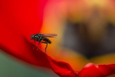 Fly On Red Tulip
