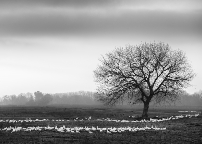 Marching Geese, San Joaquin Valley Wetlands