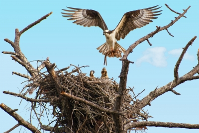 Osprey And Young At Nest
