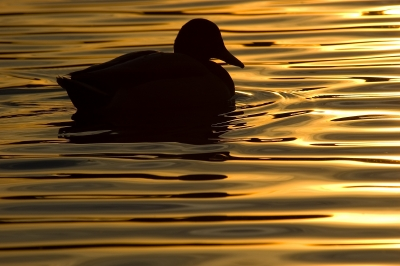 Mallard On Liquid Gold