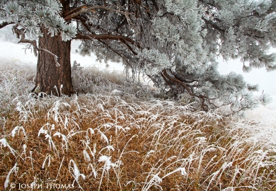 Sugar Coated Ponderosa And Grass