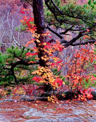 Color Entwined Pine