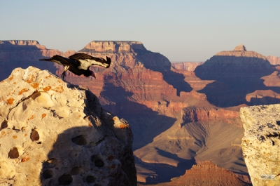 Condor Leaping Into The Grand Canyon