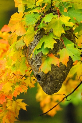 Wasp Nest Among Fall Leaves
