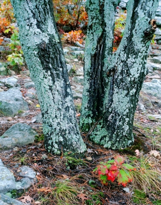 Tree Trio In Lichen