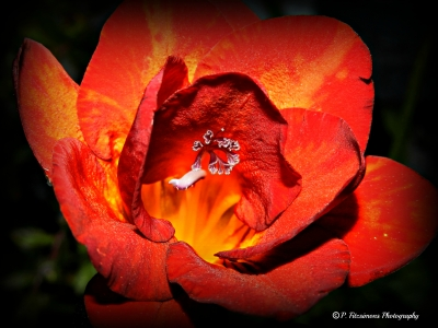 Freesis Flower – Up Close And Personal