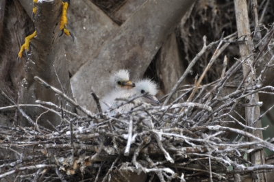 Baby Egrets Are Here!