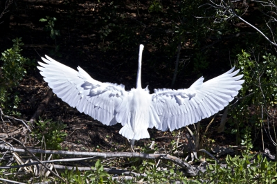 Great White Egret Wing Spread