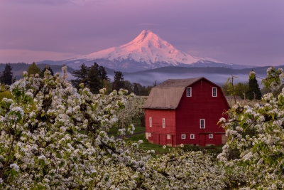 Pear Blossoms, Hood River Valley