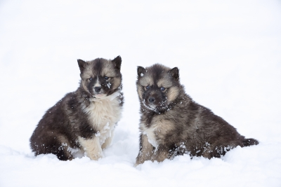 Canadian Inuit Dogs