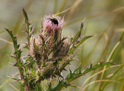Bull Thistle With Bumblebee