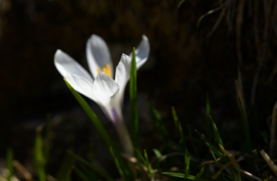 Crocus Near The Brata Hut