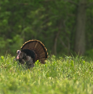 This Is A Wild Turkey