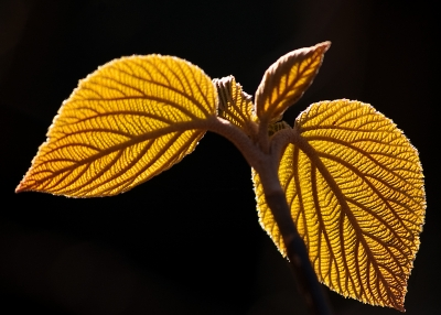 Two Leafs