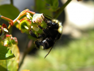 Bumblebee Pollinating A Blueberry Bush
