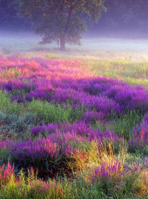 Meadow Of Loosestrife