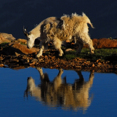 Mountain Goat Reflection