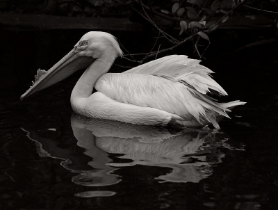 White Pelican In The Pond