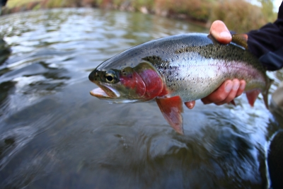 South Fork Rainbow