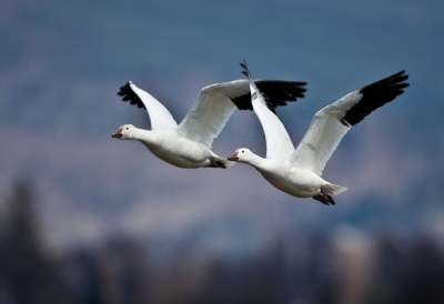 Snow Geese Part3